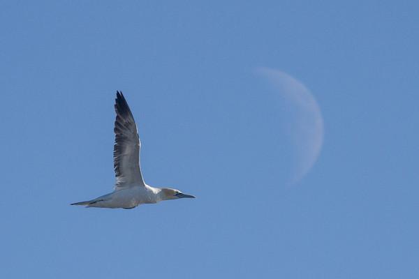 Gannett with the moon