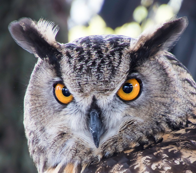 Intense eyes of a Great Horned Owl