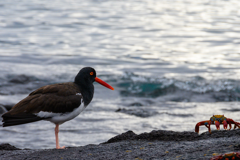 An American Oystercatcher and a Sally Lightfoot Crab