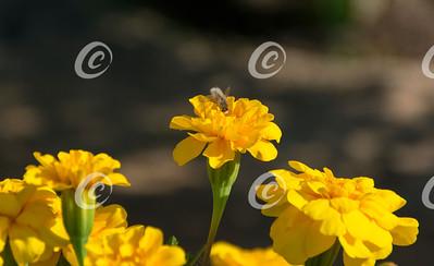 Beefly on Dwarf Marigold