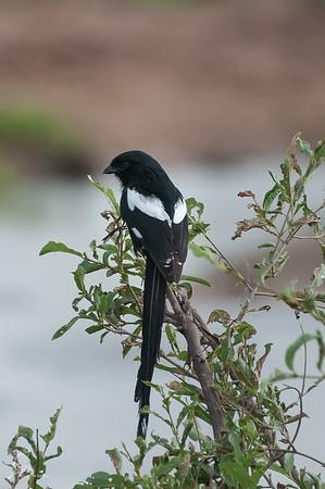 Shrike, Magpie (spp. aequatorialis)