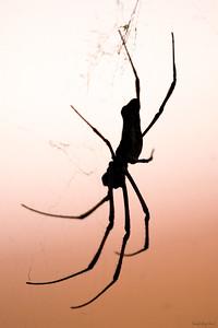The Golden Spider Silhouette