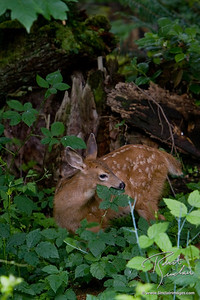 Blacktailed Dear fawn feasting on blackberry leaves
