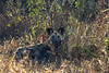 Endangered Wild / Painted Dog sitting in the long grass,  dappled in KwaZulu-Natal morning light