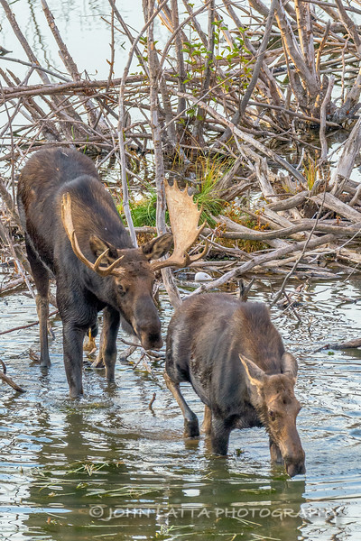 Male Moose Courting Female Moose