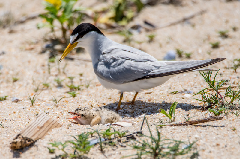 A Least Tern with Chicks 6/15/16