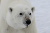 Polar bear with feather