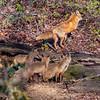 Red Fox Kits & Adult 5/7/20