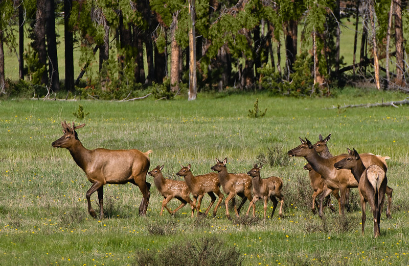 A young Bull Elk seems to lead the way for a group of calves and cows (Cervus canadensis).