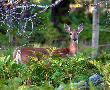 Michigan Deer in Upper Peninsula woods.