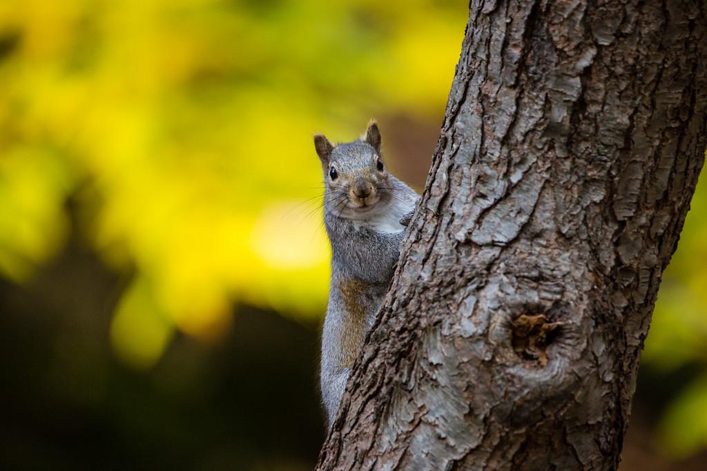 Hoffmaster Squirrel 1