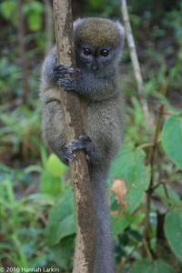 Eastern grey bamboo lemur