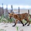 Red Fox Kit 5/31/21