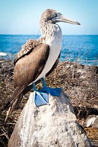 Blue footed booby - Isla Española
