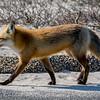 Red Fox at Island Beach State Park 2/28/16