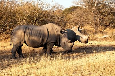 Tshukudi Game Reserve - White Rhino