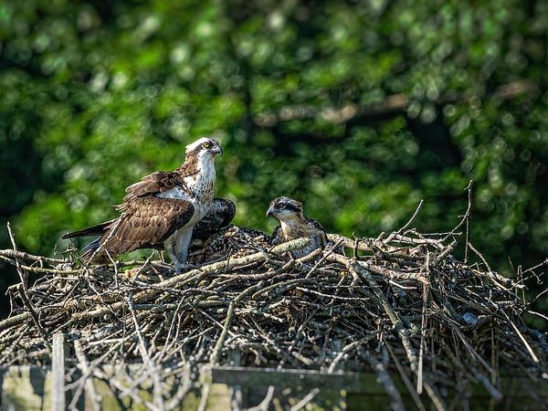 An Osprey and her offspring