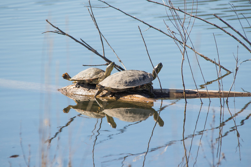 Turtles sunning on a log sitting in water