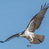 Osprey in Flight 4/11/17