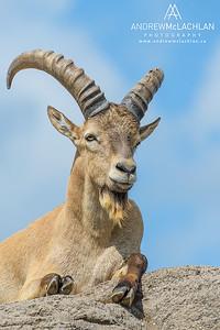 West Caucasian Tur (Capra caucasica) - captive