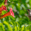 Ruby-Throated Hummingbird 7/12/16