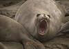 Elephant Seal, female