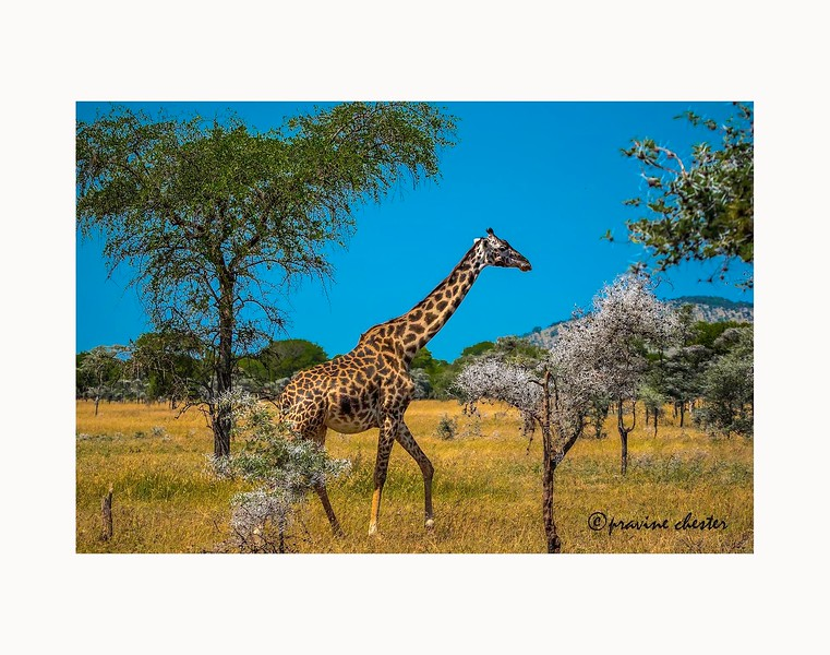 Giraffe on the move
