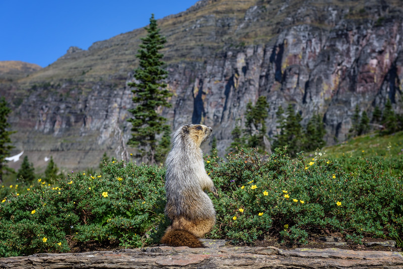 Marmot at Logan Pass, Glacier National Park, Montana