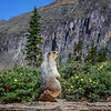 Marmot at Logan Pass, Glacier National Park, Montana