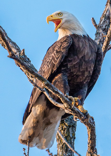 Highway 25 Eagle protecting her nest - Watertown MN.