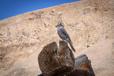 Grey Mountain Jay at Mayflower Gulch