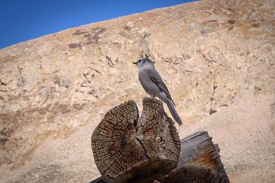 Grey Mountain Jay at Mayflower Gulch