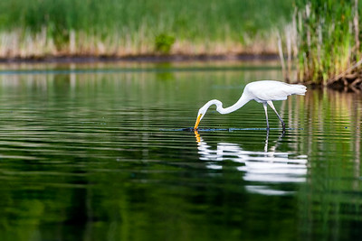Egret Finds Meal