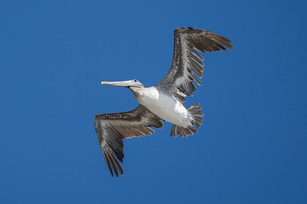 Brown Pelican, San Francisco