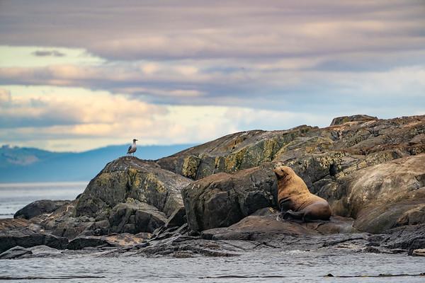 Steller Sea Lions, Salish Sea
