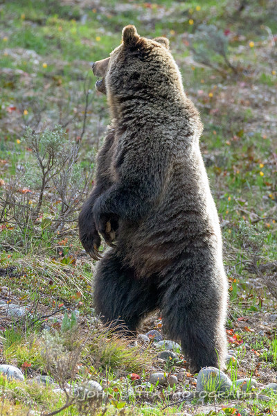 Subadult Grizzly Bear Stands Up for a Better  Look