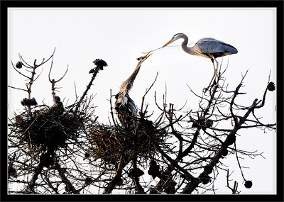 Treetop Construction  A pair of great blue herons prepares a nest high atop a dead Monterey pine tree.  The male flies back and forth from the nest to collect sticks and twigs.  The male passes material to the female, and she is in charge of the nest construction.  Whalers Cove, Pt. Lobos State Reserve Carmel, California  20-MAR-2010