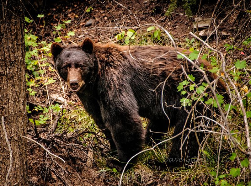 A Black Bear (Ursus americanus)  in Douglas County, CO.