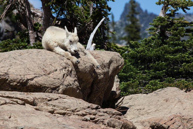 Baby Goat, Headlight Basin, Cascades, Washington State