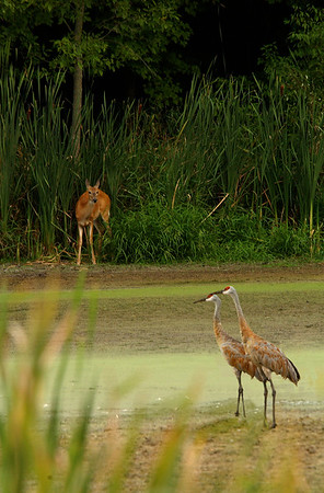 Deer watching over two Sandhill Cranes - 2002