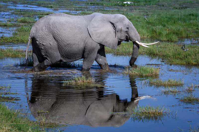 Elephant and reflection in Enkongo Narok Swamp near Noomotio Observation Hill, Amboseli National Park, Kenya, East Africa