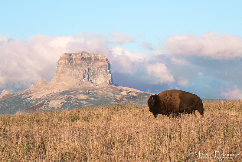Bison and Chief Mountain at Sunrise