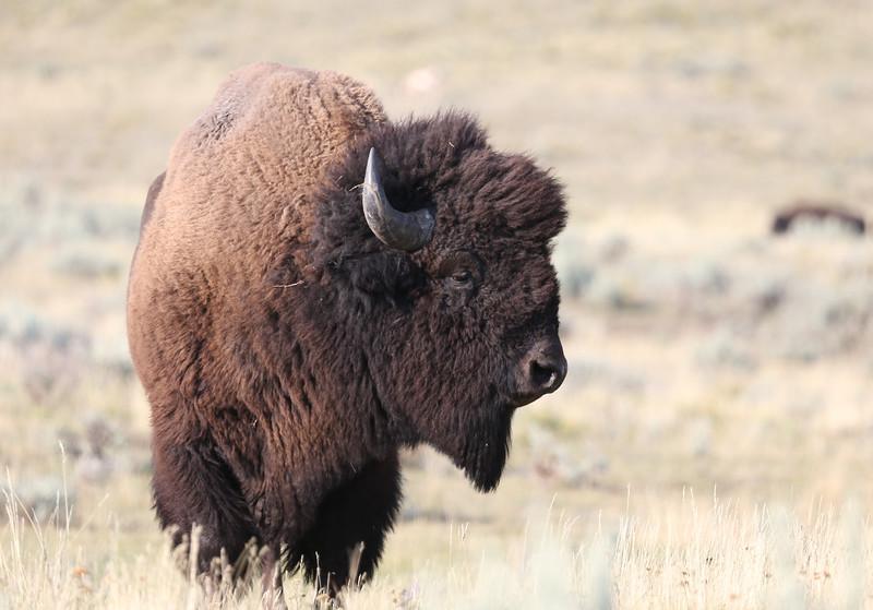 Bison near Lamar Valley - Yellowstone National Park