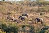 Elephant herd, KwaZulu-Natal