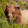 Brown Bear Munching
