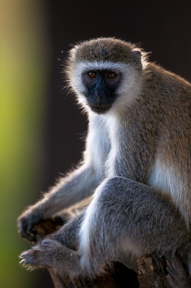A vervet monkey poses in one of Tanzanias National Parks.  2015.