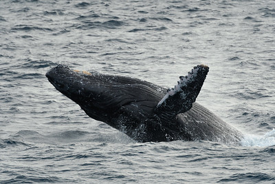Humpback whale breeching in Baja CA, Mexico.
