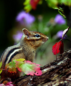 Michigan Chipmunk in Autumn Leaves.