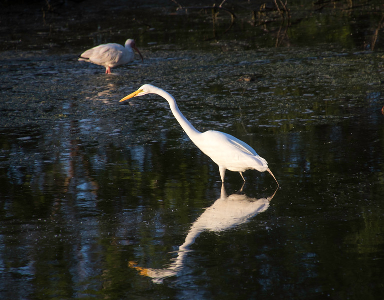 White Egret on the hunt
