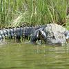 Baked Gator